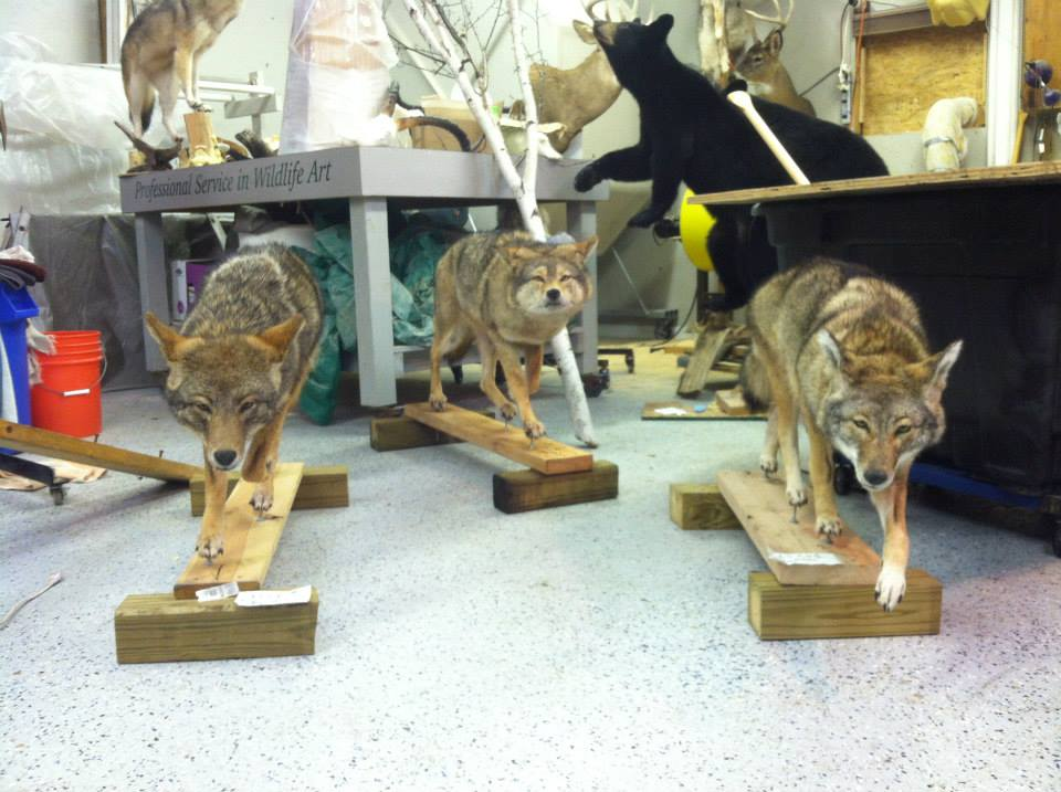 9 Coyote | Lifesize Art Gallery
