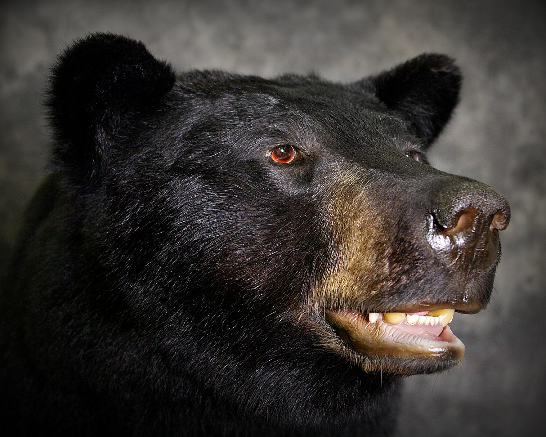 8 Michigan Black Bear