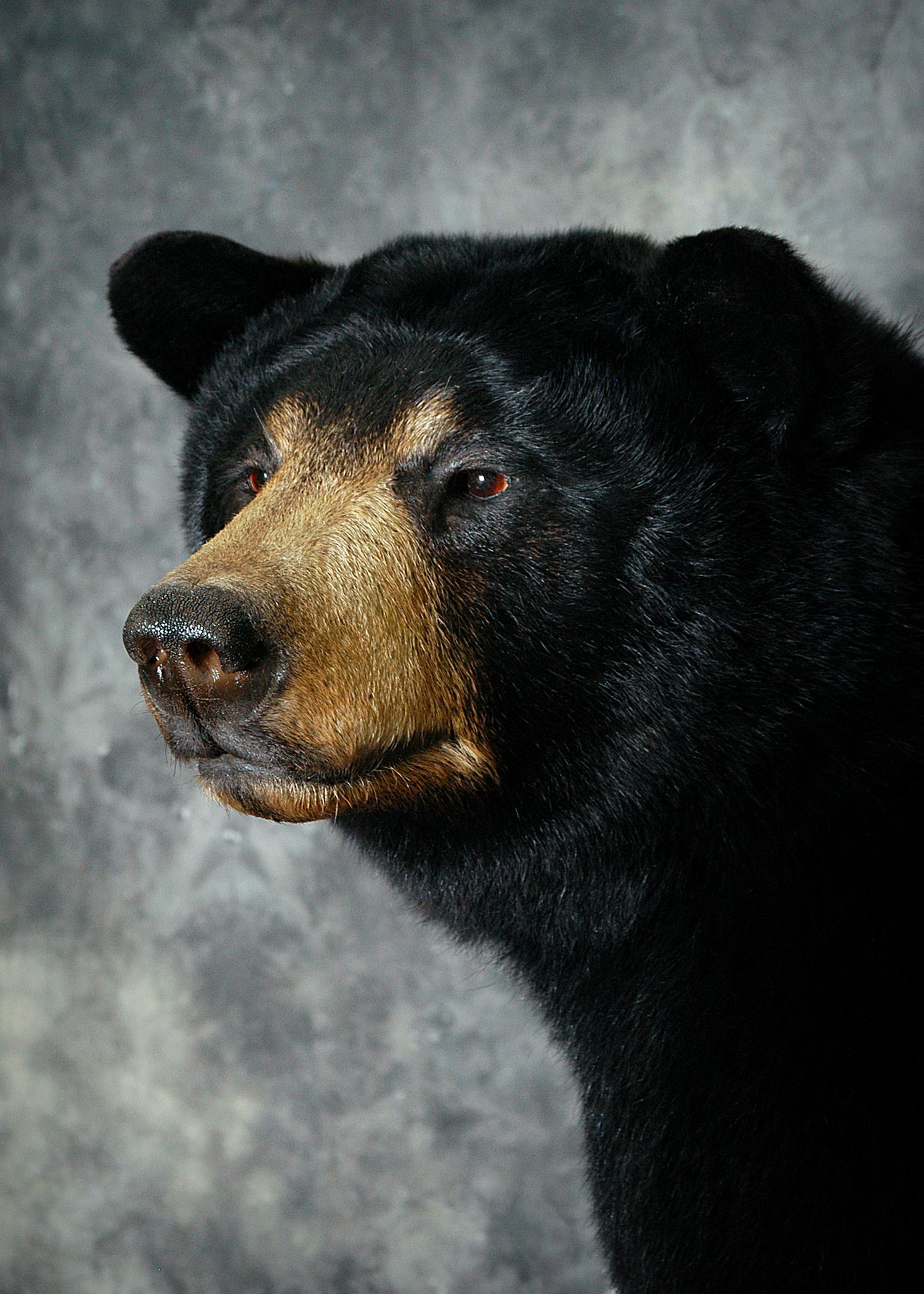 3 Michigan Black Bear
