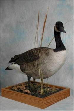 15 Canadian Goose