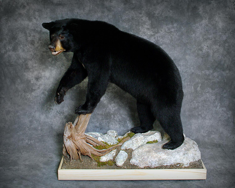 24 Coastal Black Bear