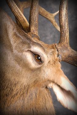 13 Wipiti | Elk
