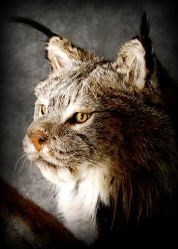 15 Lynx