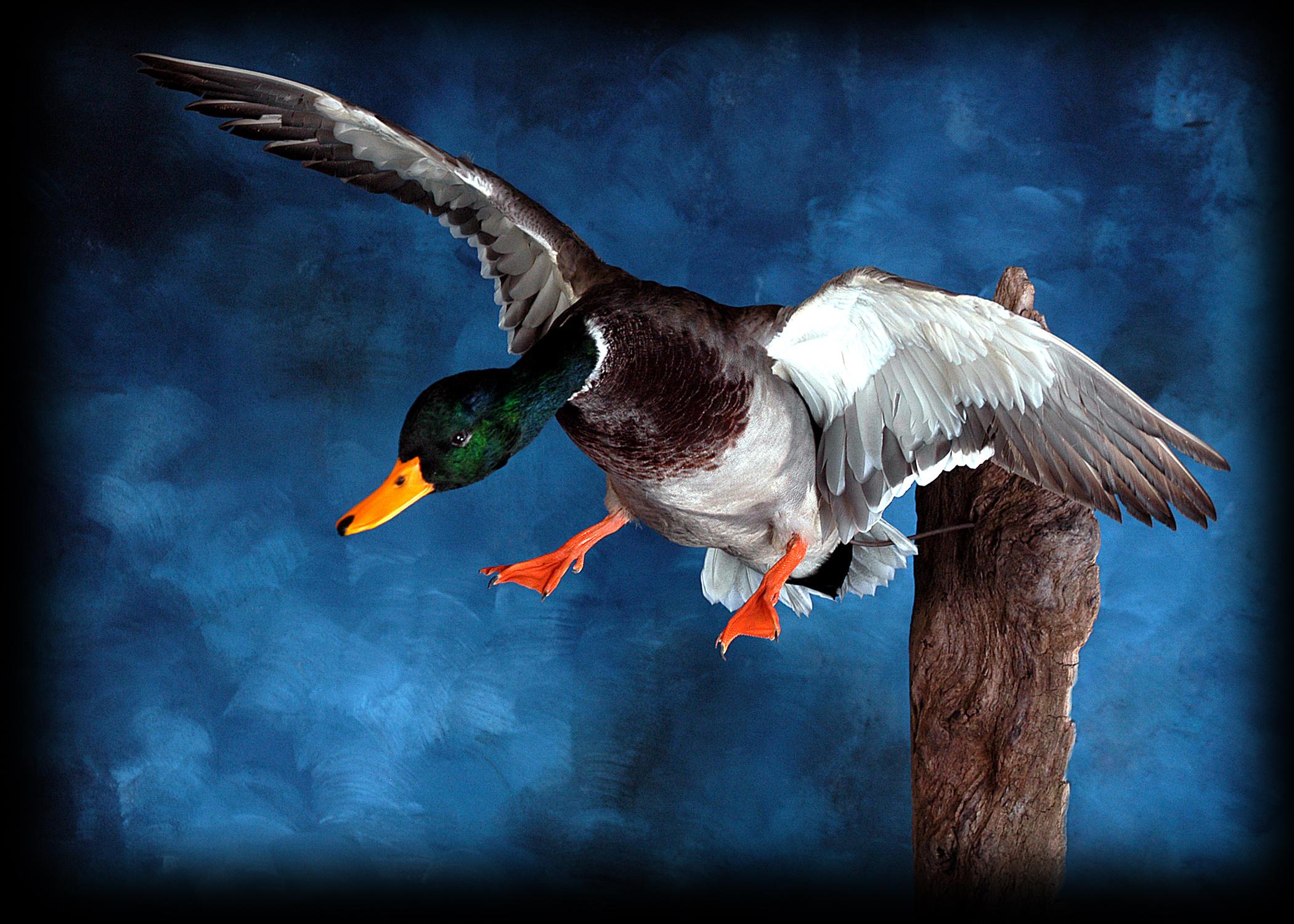 9 Mallard Duck