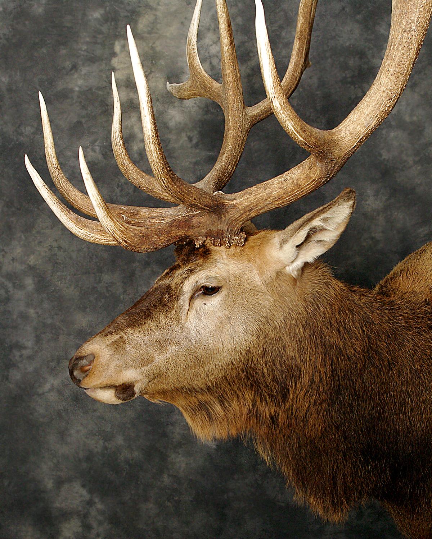8 Elk
