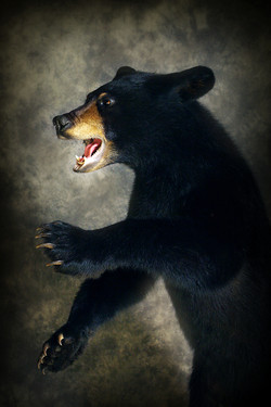 48 American Black Bear