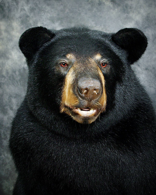 28 American Black Bear