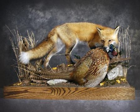 Red Fox | Pheasant