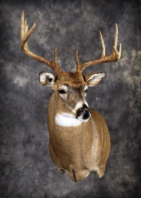 39 Whitetail Deer