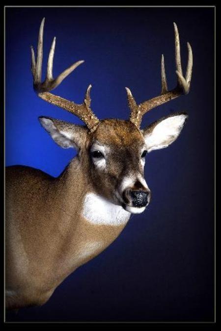 29 Whitetail Deer