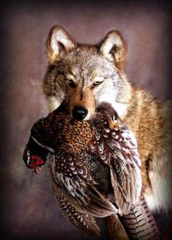 32 Wolf | Pheasant