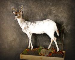 45 Piebald Deer
