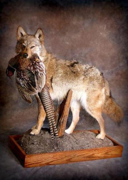 Wolf | Pheasant