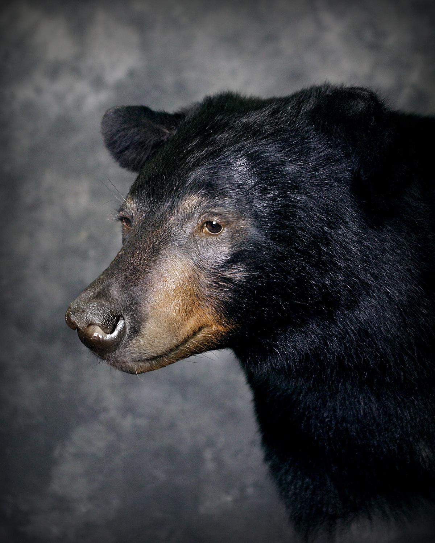 18 Black Bear