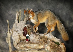 122-fox-on-top-wolf-pheasant