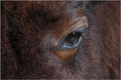 264-buffalo-closeup