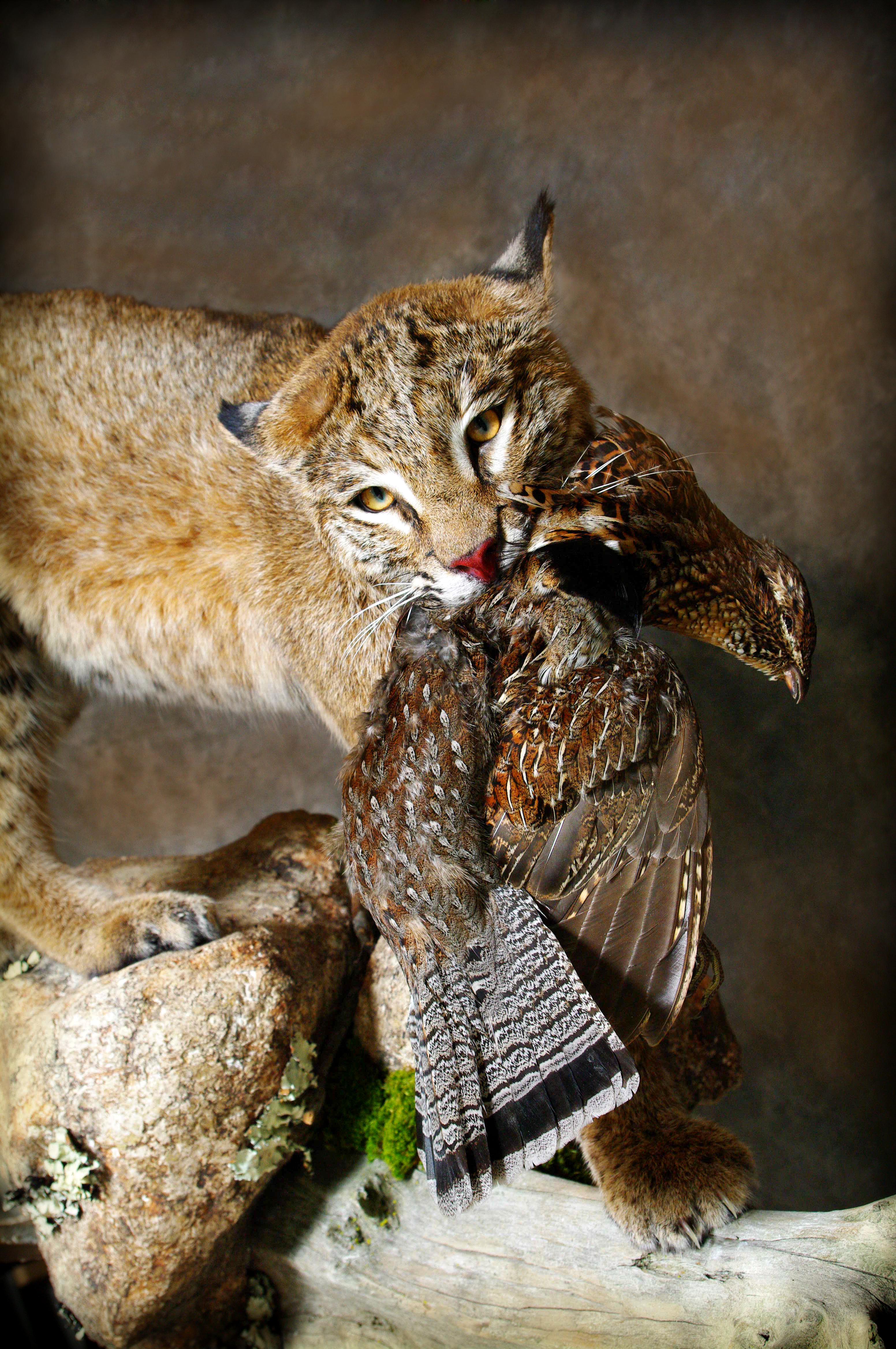25 Bobcat | Grouse