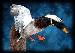 7 Mallard Duck