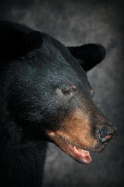 53 American Black Bear