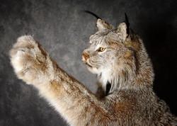 14 Lynx