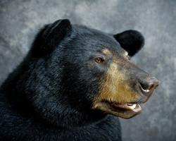 29 American Black Bear