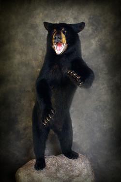 47 American Black Bear