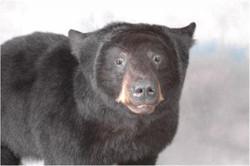 58 American Black Bear