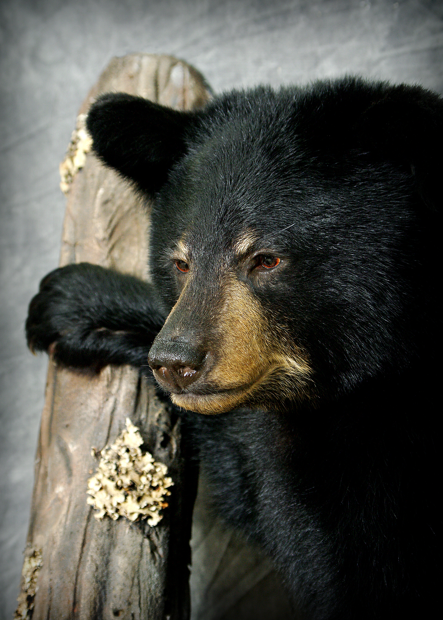 36 American Black Bear