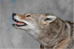 261-coyote