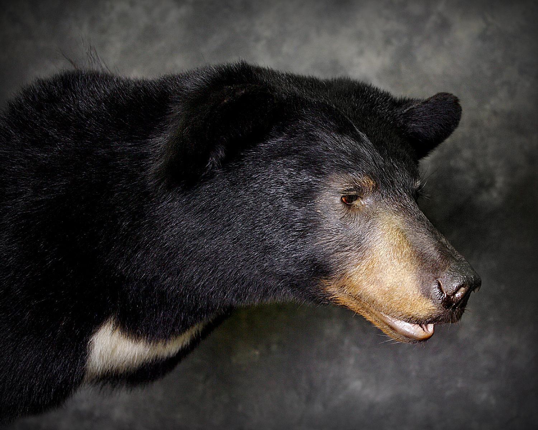21 Coastal Black Bear