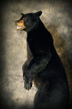45 American Black Bear