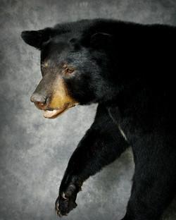 26 Coastal Black Bear