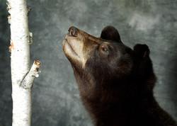 33 American Black Bear