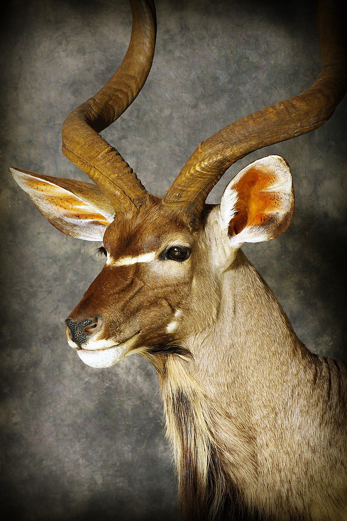 13 Kudu