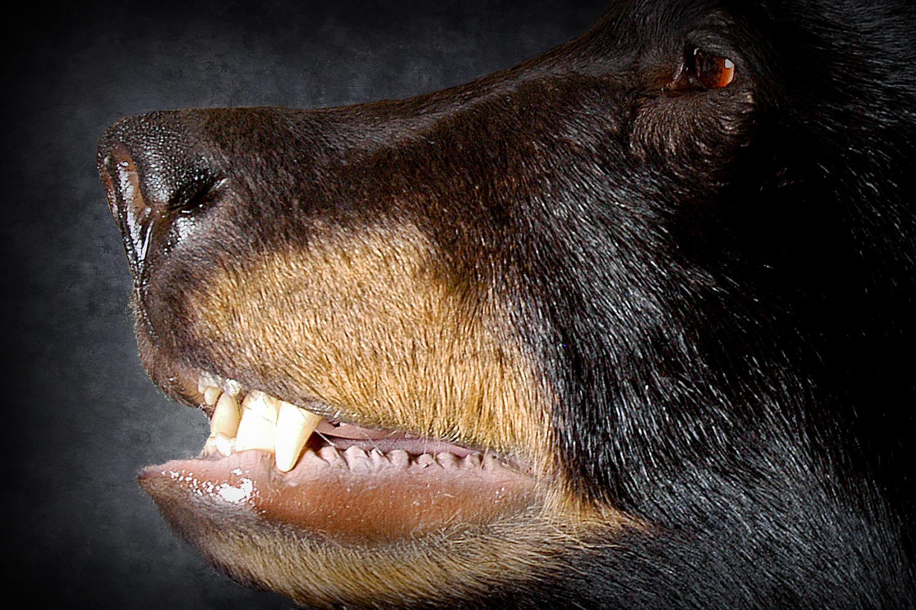 10 Michigan Black Bear