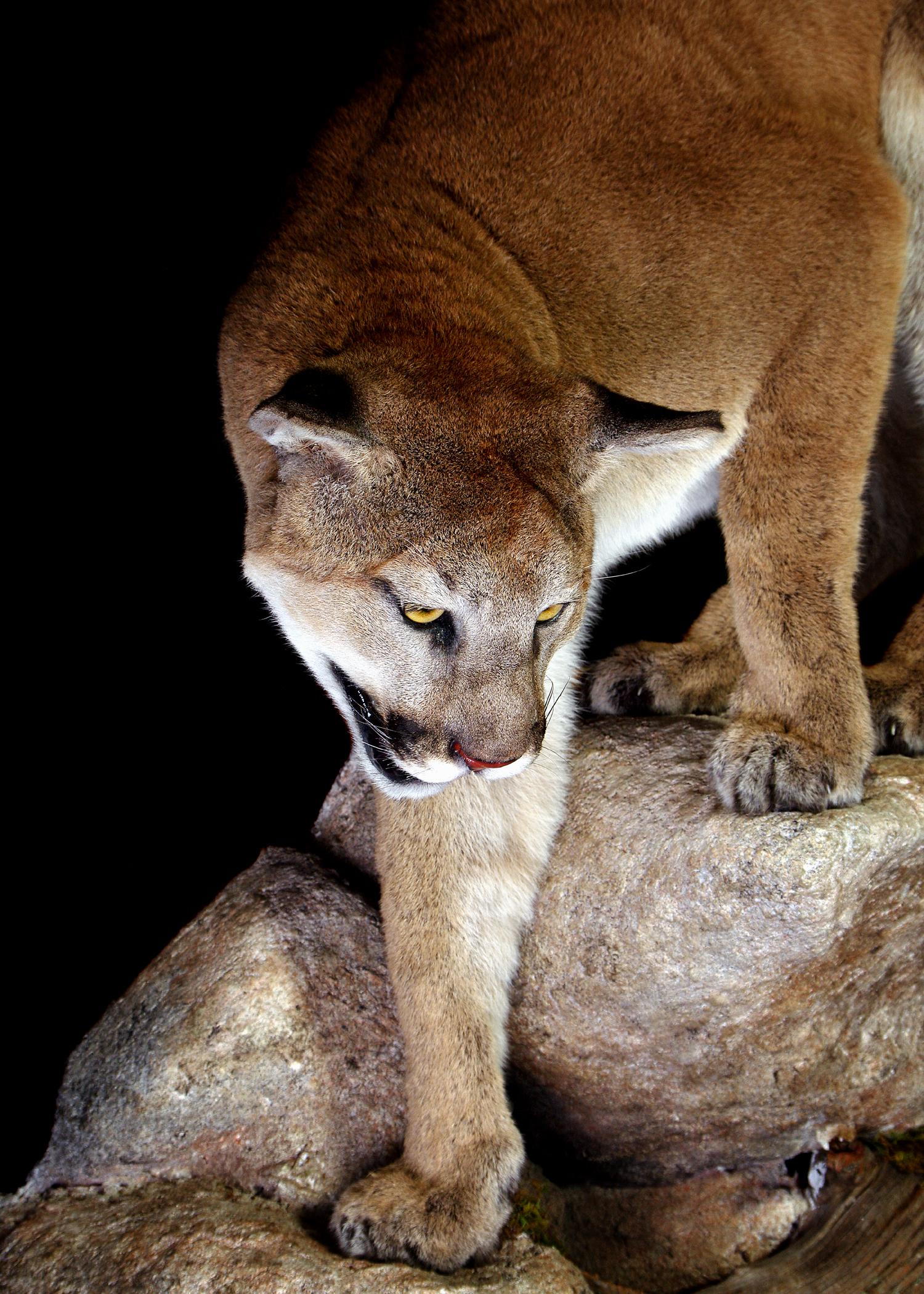 12 Mountain Lion