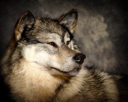 19 Arctic Wolf