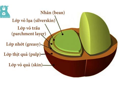 Tìm hiểu về cấu tạo và thành phần quả cà phê