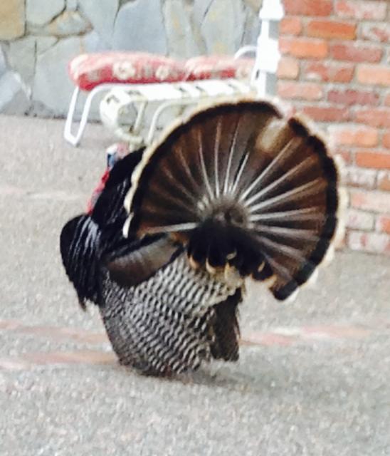 Tom Turkey Fanned Tail