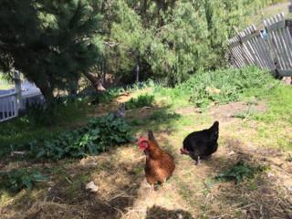 Cynthia Brian's Foraging Chickens