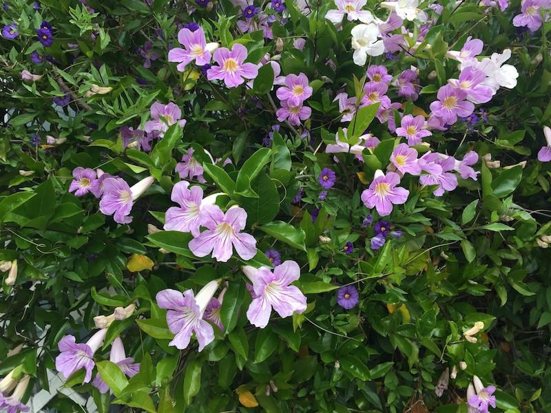 Potato vine and Purple Trumpet Vine