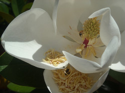Bees in a Magnolia Flower