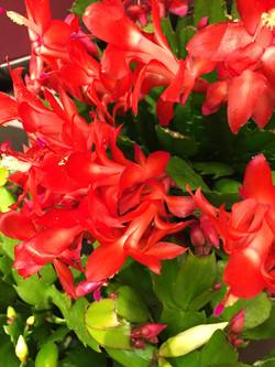 Red Xmas Cactus
