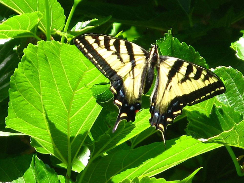 Swallowtail in June garden