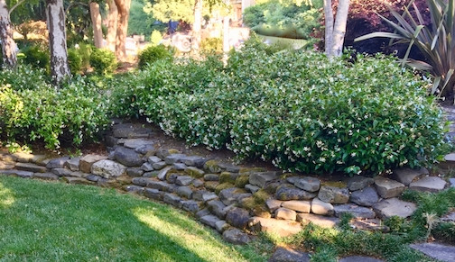 A Rock wall with jasmine overflowing