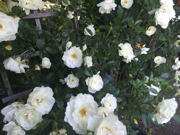David Austin White Roses