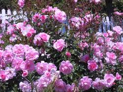 Pink Bonica Rose