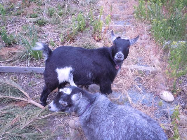 Cynthia Brian' Goats