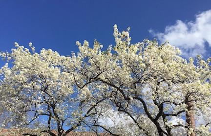Spring pear flowers