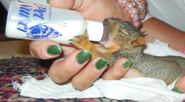 Bottle Feeding Baby Squirrel